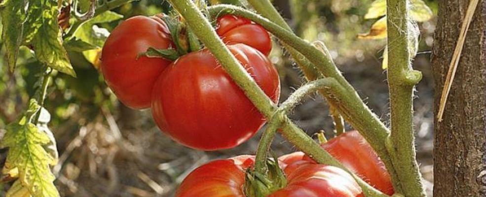 Les tomates arrivent ! Venez en profiter.